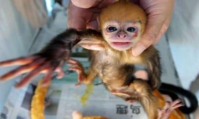 monkey smuggle
