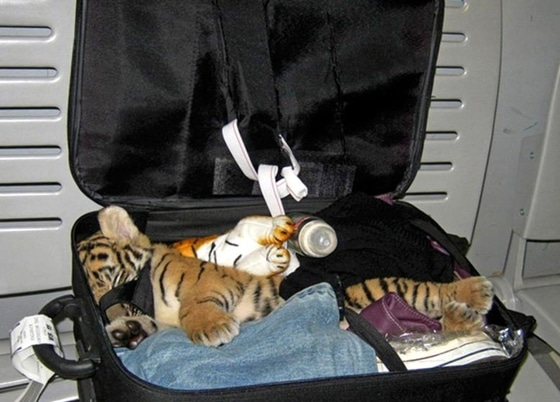 Thailand Tiger smuggle Luggage